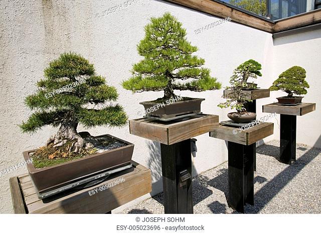Japanese Bonsai tree in National Arboretum, Washington D.C