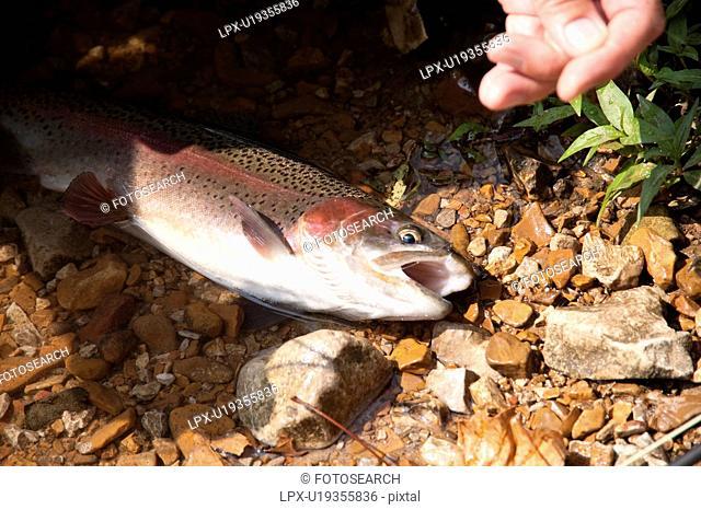 Fish in lake Taneycomo in Branson, Missouri