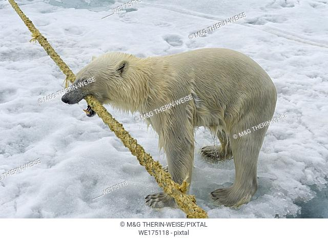 Polar Bear (Ursus maritimus) pulling and biting on the rope of an expedition ship, Svalbard Archipelago, Norway