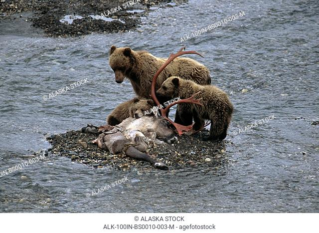 Grizzly Sow & Cubs Feed on Caribou Carcass Denali NP AK IN Toklat River Summer