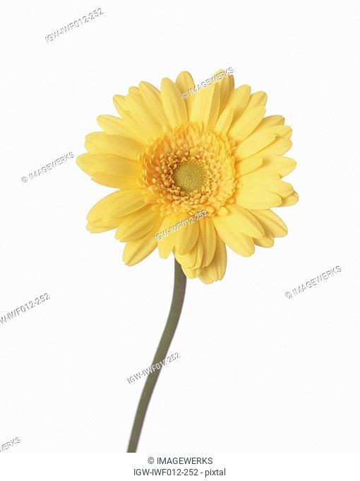 Close-up of one yellow zinnia