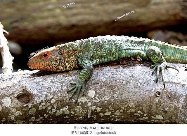 Northern Caiman Lizard (Dracaena guianensis), adult, Florida, USA, America
