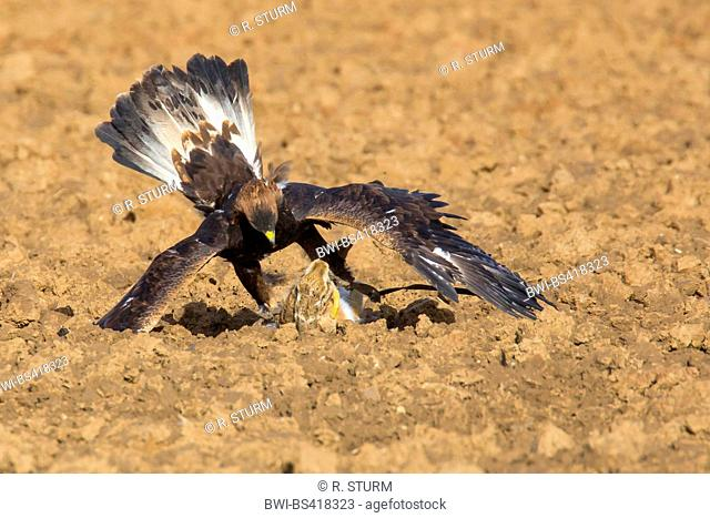 golden eagle (Aquila chrysaetos), caught a hare on a field, Germany