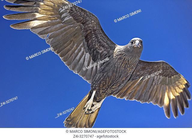 Striated Caracara (Phalcoboenus australis) in flight, Sea Lion Island, Falkland Islands, South Atlantic, South America
