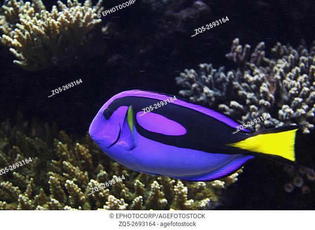 Blue tang, Palette surgeonfish, Hippo, Paracanthurus hepatus, Family Acanthuridae. India