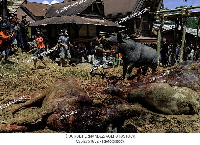 Men sacrificing water buffalos for the traditional funeral celebration of an old Tana Toraja woman. The richer was the deceased