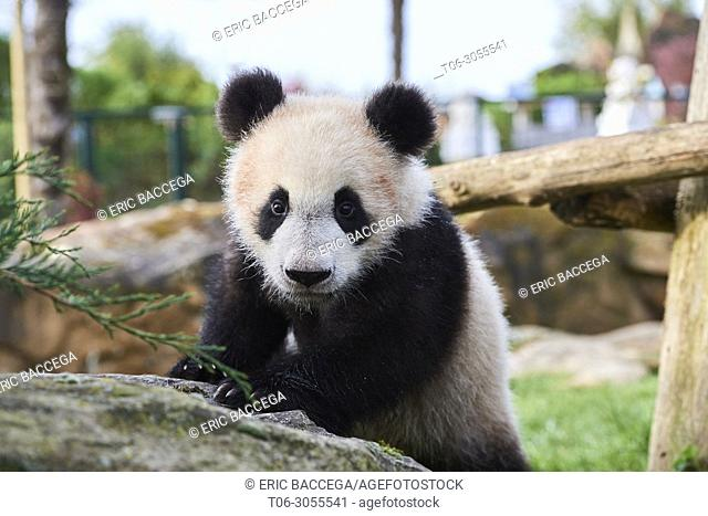 Portrait of giant panda cub (Ailuropoda melanoleuca) captive. Yuan Meng, first giant panda ever born in France, is now 8 months old, Zooparc de Beauval