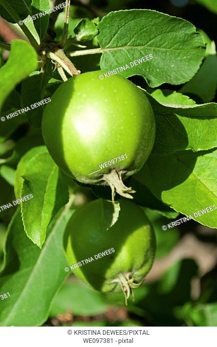 green crabapples ripening in the tree