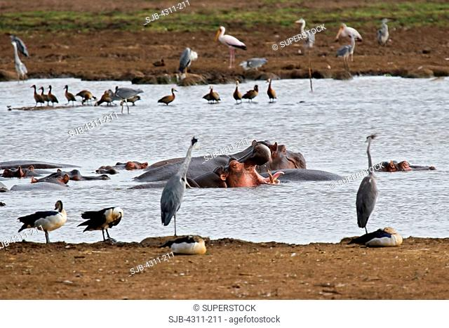 Hippos, Herons, Ducks and Storks Congregate at a Small Pond