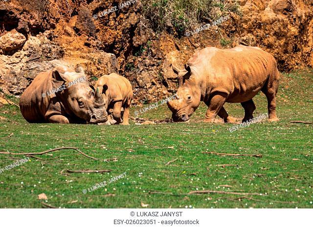 rhinoceros,lake nakuru national park,kenya,ceratotherium