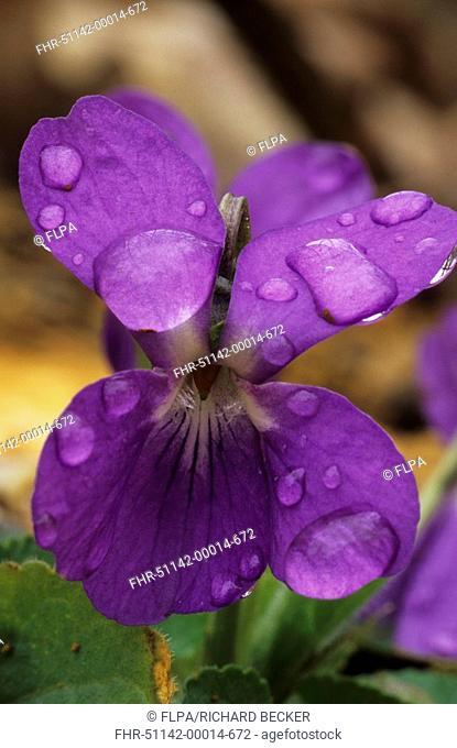 Common Dog Violet Viola riviniana Raindrops on flower - Dordogne, France
