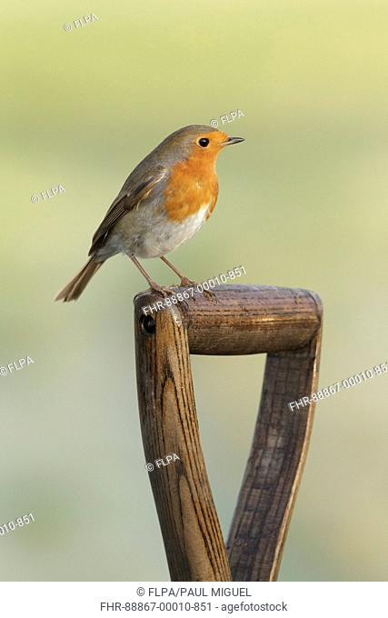 European Robin (Erithacus rubecula) adult, perched on spade handle in garden, West Yorkshire, England, February