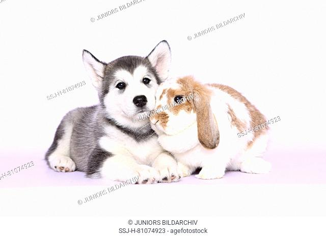 Alaskan Malamute. Puppy (6 weeks old) and Mini Lop bunny next to each other. Studio picture, seen against a pink background. Germany