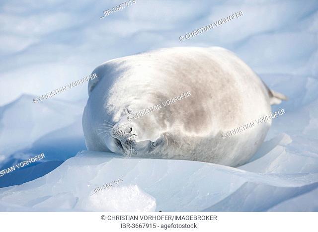 Leopard Seal (Hydrurga leptonyx) lying on an ice floe, asleep, Antarctica