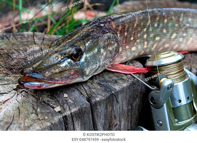 Freshwater Northern pike fish know as Esox Lucius lying on a wooden hemp and fishing equipment. Fishing concept, good catch - big freshwater pike fish just...
