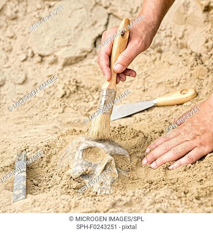 Archaeologist excavating a skull