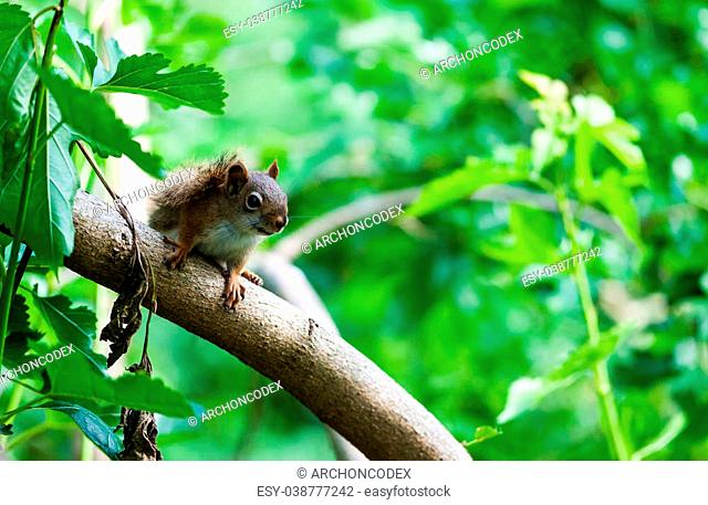American Red Squirrel standing attentively on diagonal tree branch among copy space of lush green leaves