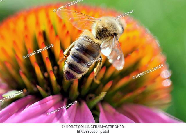 Honey bee (Apis mellifera) collecting nectar on flower head, purple coneflower (Echinacea purpurea), medicinal plant, immunostimulant