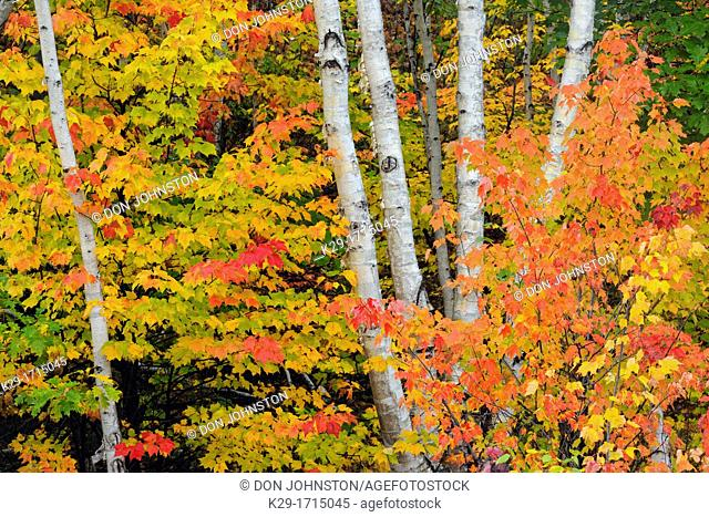 Red maple tree among white birch tree trunks, Greater Sudbury, Ontario, Canada
