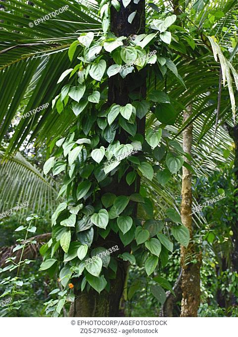 Piper Nigrum, Pepper. Family: Piperaceae. An evergreen climber. Kerala, India