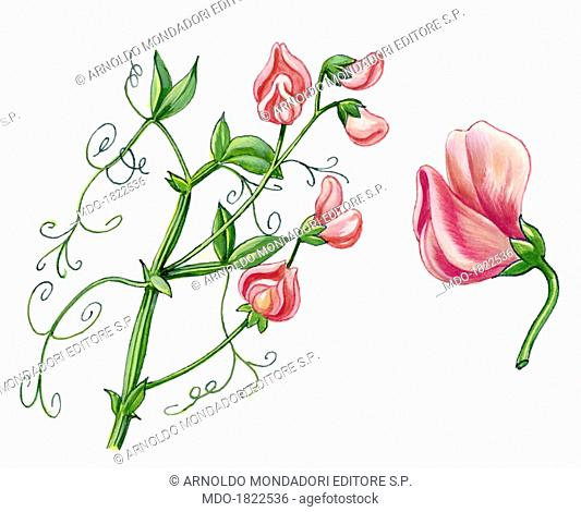Sweet pea (Lathyrus odoratus) , by Giglioli E., 20th Century, ink and watercolour on paper. Whole artwork view. Drawing of the plant and the flower of Sweet pea