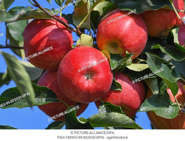 03.09.2018, Brandenburg, Lichtenberg: Ripe apples of the variety Gala hang on a tree in a plantation of the Dohrmann fruit yard at the official start of the...