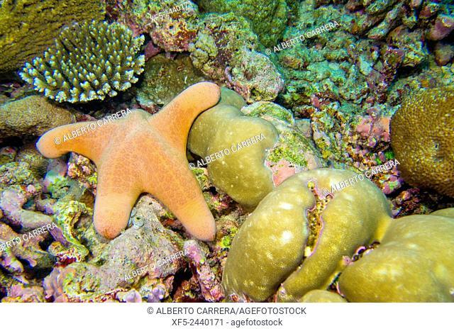 Granular Sea Star, Choriascer granulatus, Starfish, Coral Reef, South Ari Atoll, Maldives, Indian Ocean, Asia