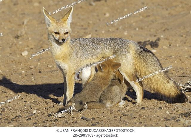 Cape fox (Vulpes chama), mother feeding her three cubs, evening light, Kgalagadi Transfrontier Park, Northern Cape, South Africa, Africa