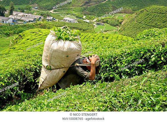 Worker in a tea plantation, Cameron Highlands, Malaysia, Southeast Asia, Asia