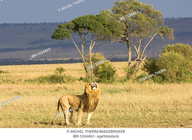 Lion (Panthera leo) taking up the scent of a lioness in the savannah, Masai Mara, Kenya, East Africa