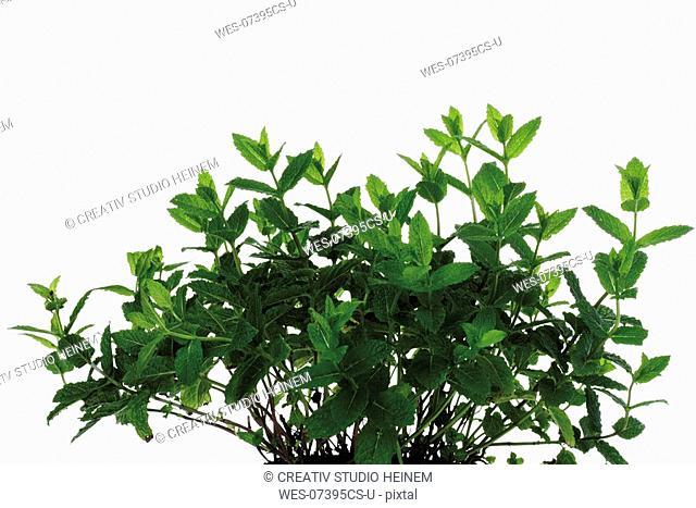 Bunch of mint Mentha spicata var  crispa, close-up
