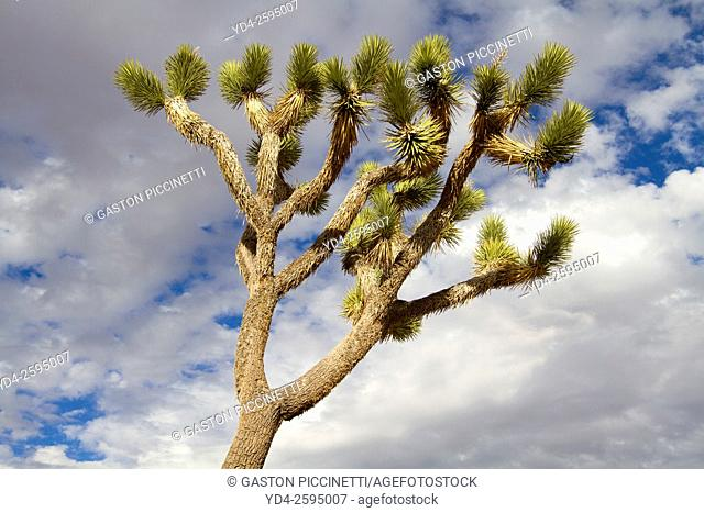 Joshua Tree (Yucca brevifolia), Mojave Desert, Joshua Tree National Park, California, USA