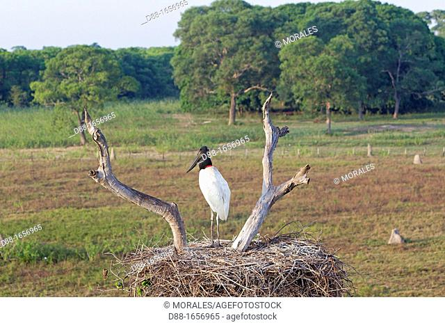 Jabiru (Jabiru mycteria), nest with youngs, Pantanal area, Mato Grosso, Brazil