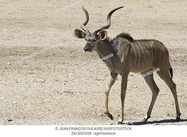 Greater kudu (Tragelaphus strepsiceros), adult male going to the waterhole, Kgalagadi Transfrontier Park, Northern Cape, South Africa, Africa