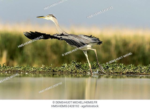 Hungary, Csongrad, Kiskunsagi National Park, Pusztaszer, Grey Heron (Ardea cinerea), taking off