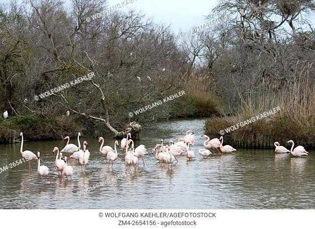 Greater flamingos (Phoenicopterus roseus) at the Bird Park Pont de Grau, a UNESCO designated biosphere reserve, near Saintes Marie de la Mer in the Camargue