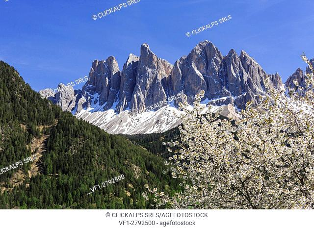 The Odle in background enhanced by flowering trees . Funes Valley. South Tyrol Dolomites Italy Europe