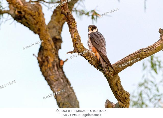 Eurasian Hobby resting and surveilling within foliage of an Almond tree in the vicinity of his nest, Spain