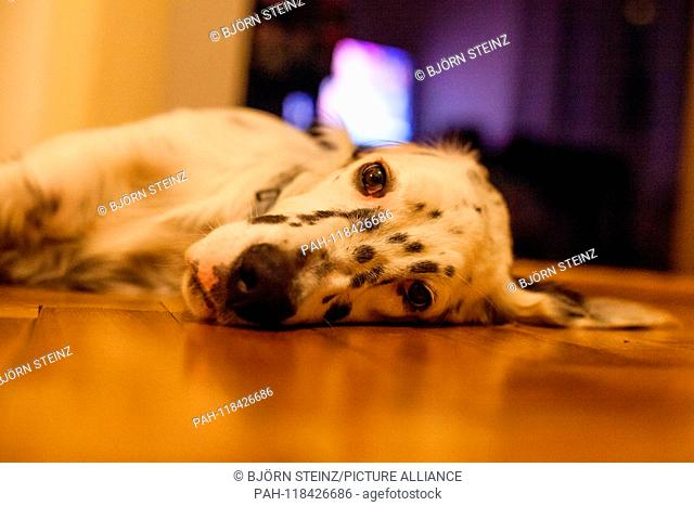 """English Setter puppy """"""""Rudy"""""""" lies on 06.06. 2017 on the parquet floor in Prague. Rudy was born in early January 2017 and has just moved to his new family"""