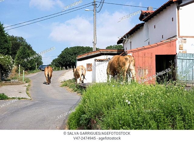 Cows walk down the road on the way to the meadow, Erandio, Bilbao, Vizcaya, Spain, Europe