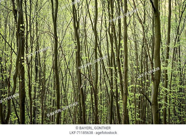UNESCO World Heritage Old Beech Groves of Germany, Kellerwald Edersee National Park, Hesse, Germany