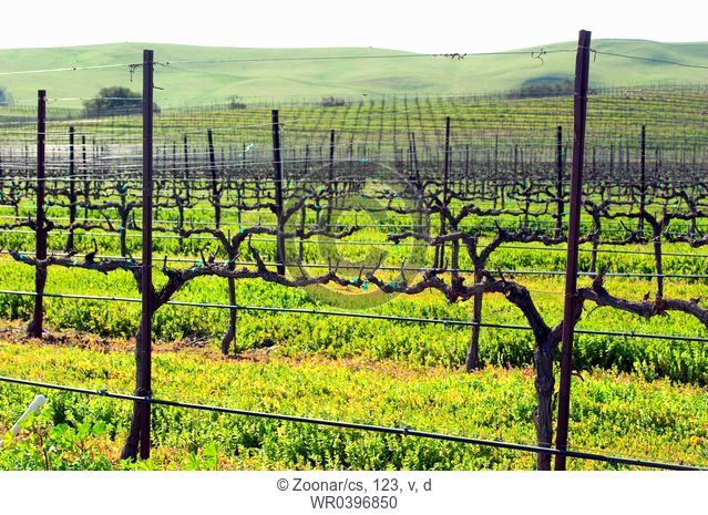 winter grape vines getting ready for spring