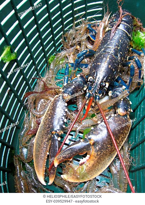 Breton lobster and shrimps in a fishing basket in France
