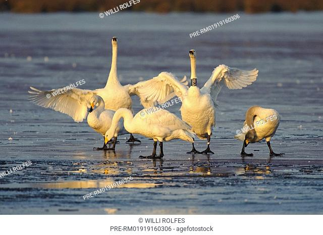 Group of whooper swan on a frozen lake, Cygnus cygnus, Goldenstedter Moor, Lower Saxony, Germany, Europe