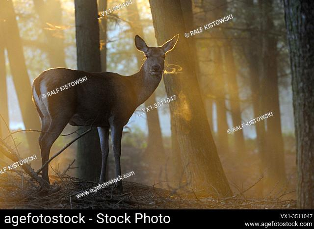 Red Deer ( Cervus elaphus ), hind, standing at the edge of a forest on a misty morning, wonderful atmospheric backlight, visible breath cloud, Europe