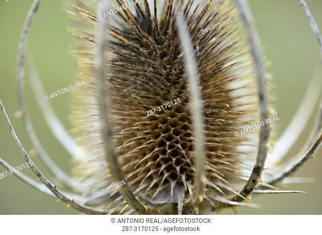 Wild teasel (Dipsacus fullonum), Albacete province, Spain