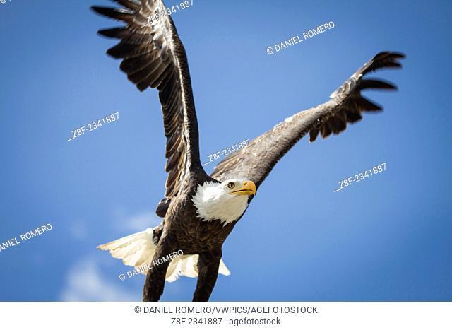 Condor Park, Bald Eagle, Haliaeetus leucocephalus
