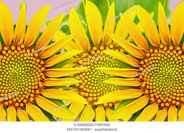 sunflower closeup background