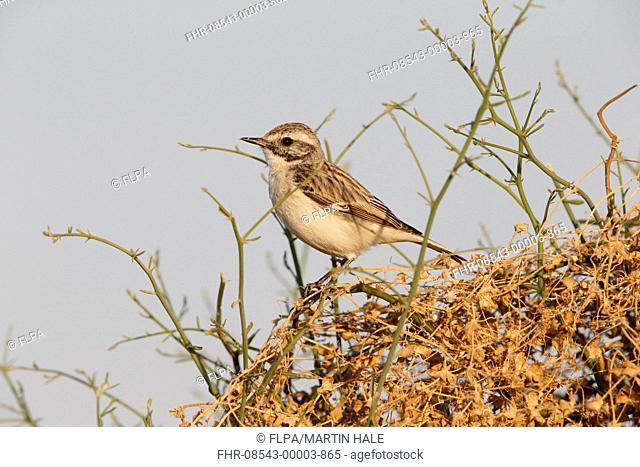 White-browed Bushchat (Saxicola macrorhynchus) adult male, moulting into breeding plumage, perched on stems, Desert N.P., Thar Desert, Rajasthan, India