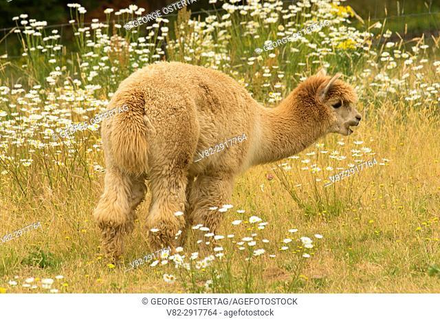 Alpaca, Mountainside Lavender, Washington County, Oregon